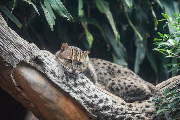 ジャングルの中で枝の木の上に横たわる釣り猫