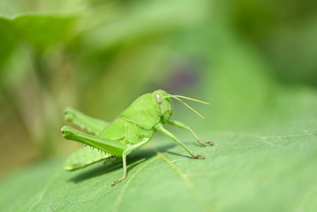 草原のバッタ - 自然マクロ撮影で葉の上の緑のバッタ
