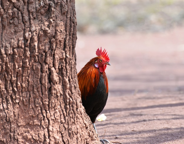酉バンタムカラス鶏のカラフルな赤フィールド自然 - バンタムコック