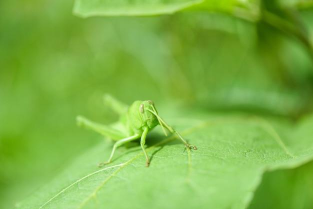 草原バッタ、自然マクロ撮影で葉の上の緑のバッタ