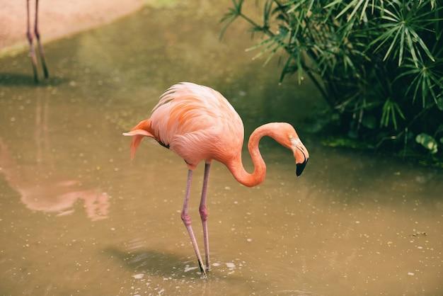 Фламинго апельсиновый на природе зелёное тропическое растение, карибский фламинго