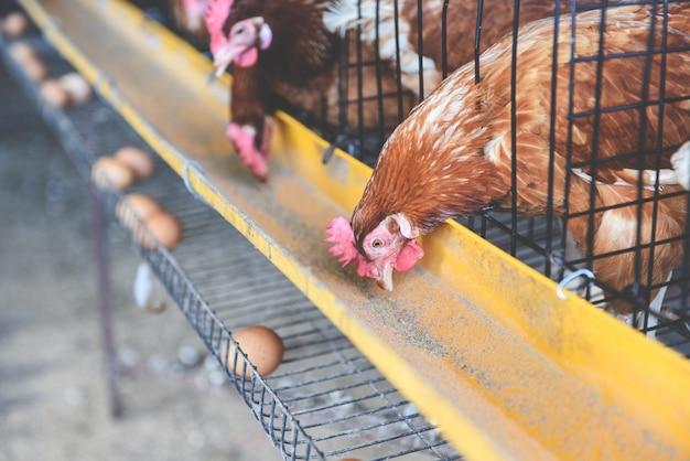 Курица в клеточном сельском хозяйстве на птицеферме и свежем яйце