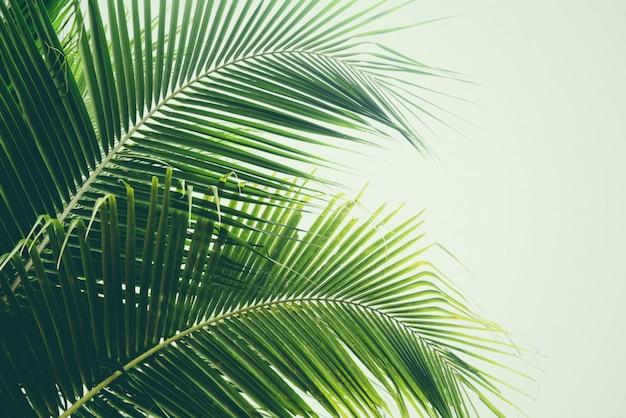 Свежие зеленые пальмовые листья кокосовой пальмы