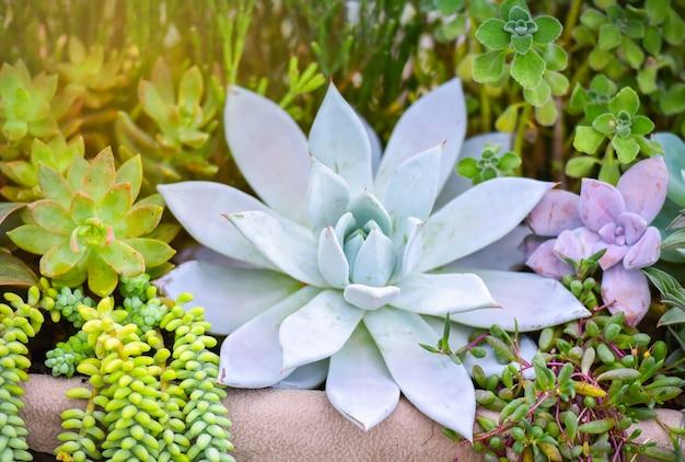 多肉植物のさまざまな種類の美しい成長