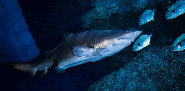 荒れた歯のサメまたは砂の虎のサメ