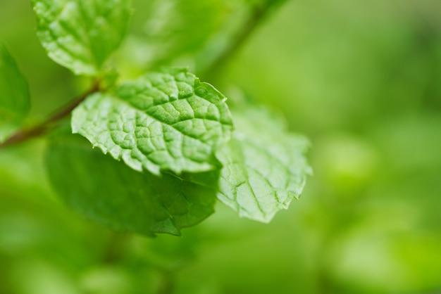 庭のペパーミントの葉自然の緑のハーブや野菜の新鮮なミントの葉