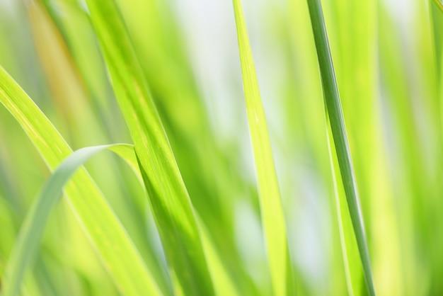ハーブの薬の食べ物のための緑の葉のレモングラス植物をクローズアップ