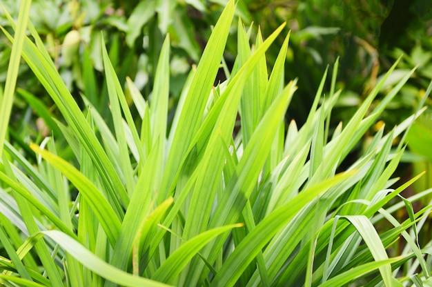 パンダン葉植物