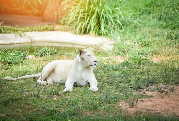 Женский белый лев, лежа на траве поля сафари