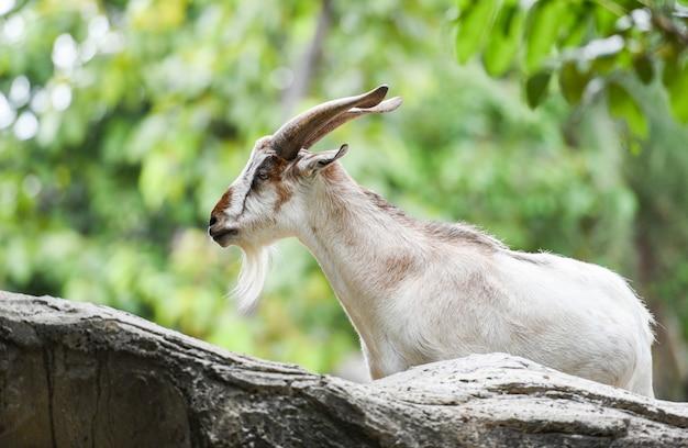 Самец дикого горного козла гуляет по скалам