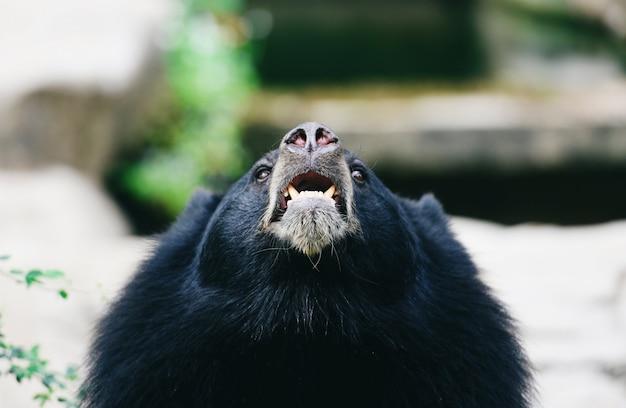 Азиатский черный медведь стоит и отдыхает летом - черный медведь ждет своей еды в зоопарке