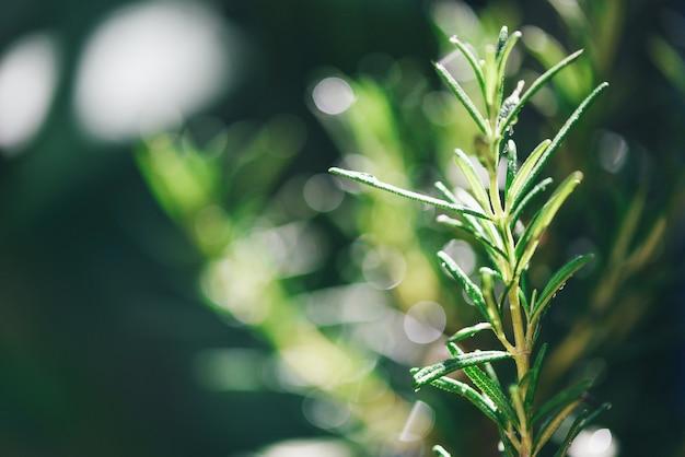 エッセンシャルオイルの抽出のために庭で成長しているオーガニックローズマリー植物/新鮮なローズマリーハーブ自然緑
