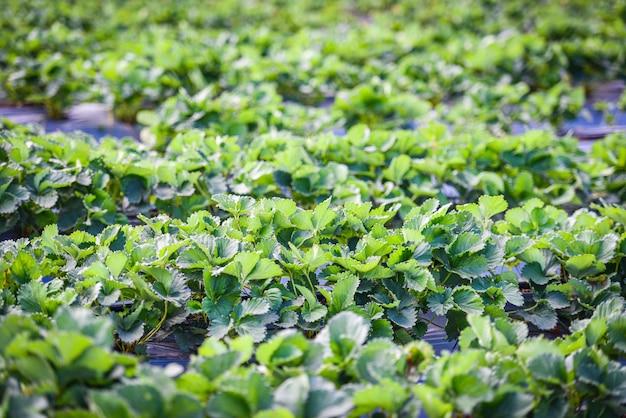 Клубничное поле с зеленым листом в саду - посадить дерево клубники, растущее в сельском хозяйстве