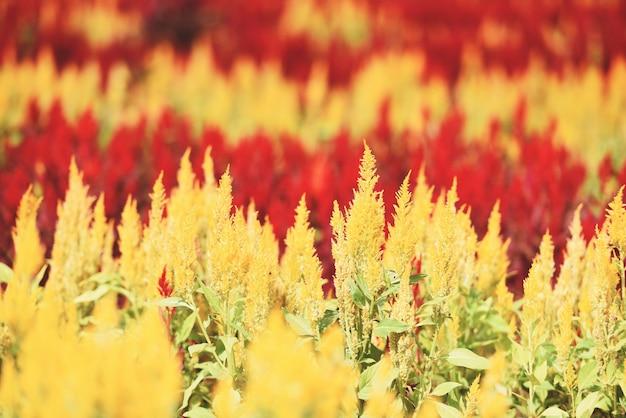屋外の保育園で鶏頭の赤と黄色の花を持つカラフルな庭、ケイトウアルジェンテア-夏ヴィンテージ色に咲く鶏頭花