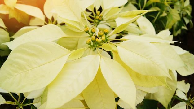 庭のお祝いと松の森の木の白または黄色のポインセチア-ポインセチアのクリスマスの伝統的な花の装飾メリークリスマス