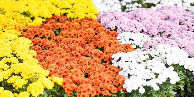 Осенний сад хризантема цветет в горшке - разноцветные цветы хризантемы праздник украшения праздник