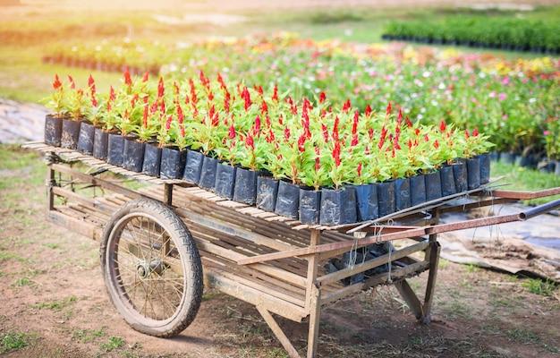 屋外の保育園の鶏頭の赤い花、ケイトウアルジェンテア-黒いビニール袋の鶏頭花の庭
