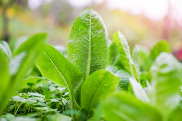 庭の野菜農場の水耕システムで成長している新鮮なグリーンコスレタスサラダ-朝の緑のプランテーション