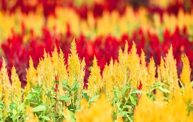 夏のヴィンテージ色に咲く鶏頭花-屋外の保育園、ケイトウアルジェンテアの鶏頭の赤と黄色の花を持つカラフルな庭
