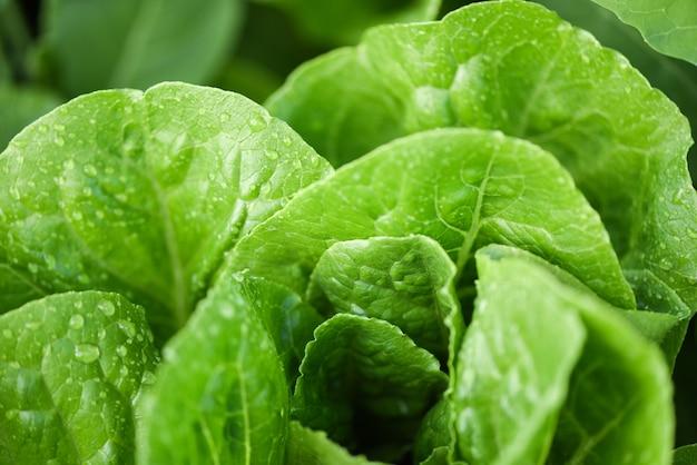 グリーンサラダの健康食品のために収穫された新鮮な野菜のレタスと水が付いている庭の食べ物の葉に有機野菜ガーデニングの待機