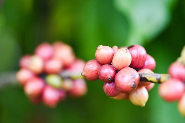 コーヒーの木の新鮮なコーヒー豆-枝にアラビカコーヒーベリー農業