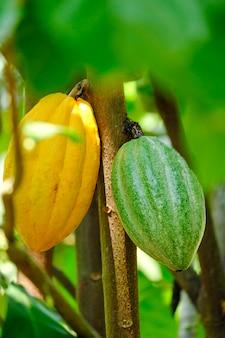 黄色と緑のココアポッドが木に生えます-ココアの木の植物の有機チョコレート農場