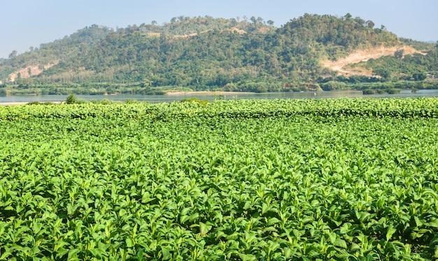 Молодые зеленые табачные листья плантации на табачном поле