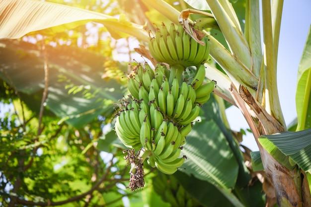 Зеленые бананы, свисающие с дерева