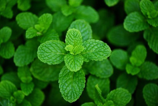 庭の背景にペパーミントの葉-自然の緑のハーブや野菜の食べ物で新鮮なミントの葉