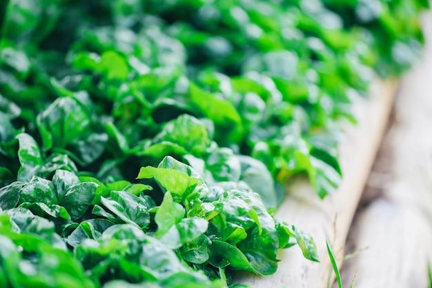 野菜の庭の植物の緑の葉のテクスチャ背景で育つクレソン-新鮮なクレソンのサラダとハーブ