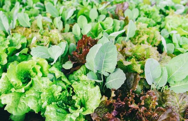 Листья салата свежих овощей в саде. питание органическое овощеводство