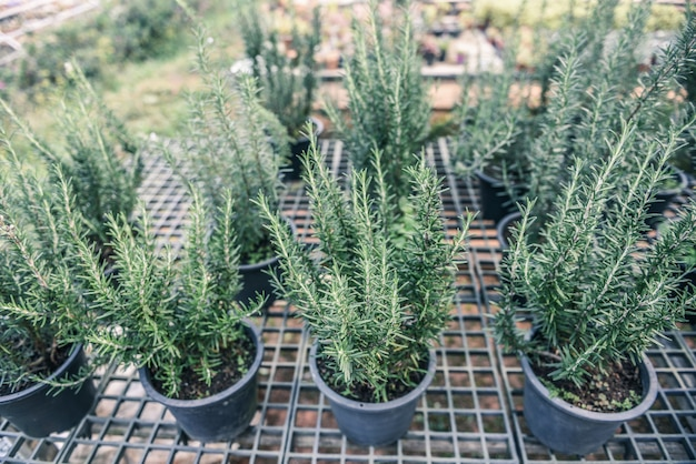 Растение розмарина в саду для экстрактов эфирного масла. свежие травы розмарина натуральные в теплице питомника