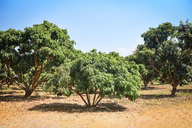 農業アジアのリュウガンの木。夏の庭でリュウガントロピカルフルーツ