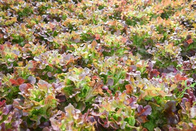 庭で成長している新鮮なレッドオークレタスのサラダ。温室の有機野菜水耕システムにおける土壌農業なしの水耕農場サラダ植物