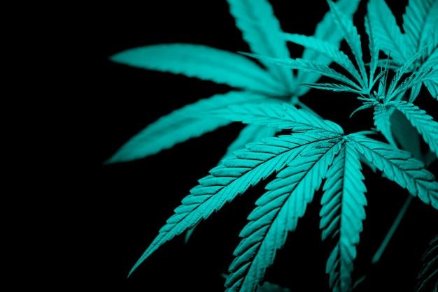 マリファナの葉の暗い背景に大麻植物の木