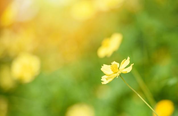 Природа желтый цветок размытие поля / желтое растение календулы осенние цвета красивые в саду