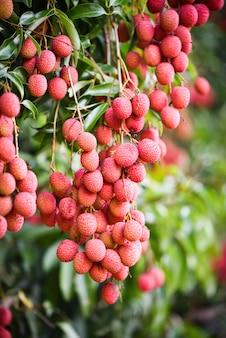 新鮮な熟したライチ果実は庭のライチの木に掛かる
