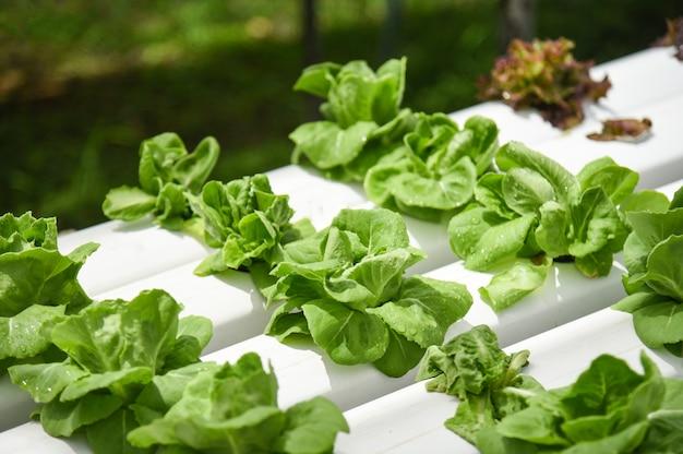 土壌農業有機物なしで水上で温室野菜水耕システム農場植物で成長しているバターヘッドレタス