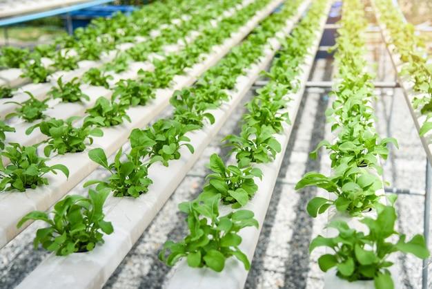 土壌のない水に水耕栽培システムの農場の植物で成長しているグリーンレタスサラダ菜園