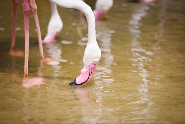 Фламинго птица розовый красивый у озера река природа тропические животные - большой фламинго