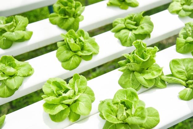 温室野菜水耕システム農場で成長しているレタス