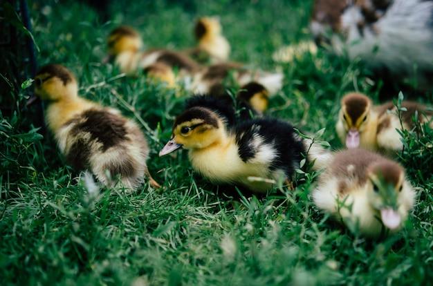 緑の草の上を走っている小さな黄色のアヒルの群れ