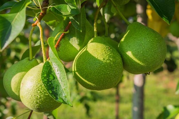 晴れた夏の日に梨の木の枝