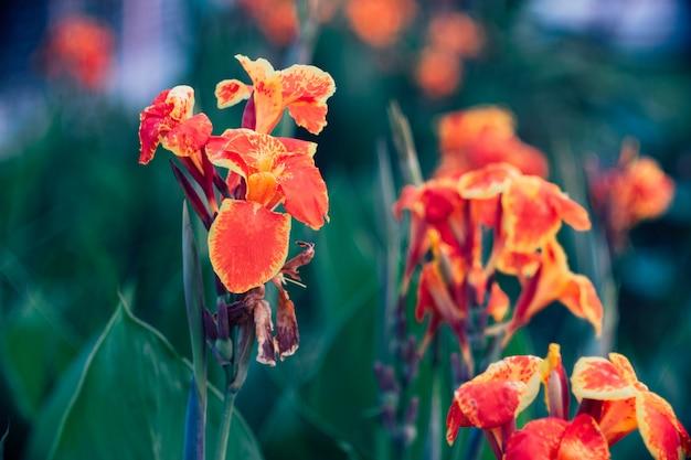 美しいオレンジ色の黄色いカンナビンテージスタイルのユリ。