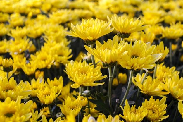 Желтый цветок хризантемы в саду.