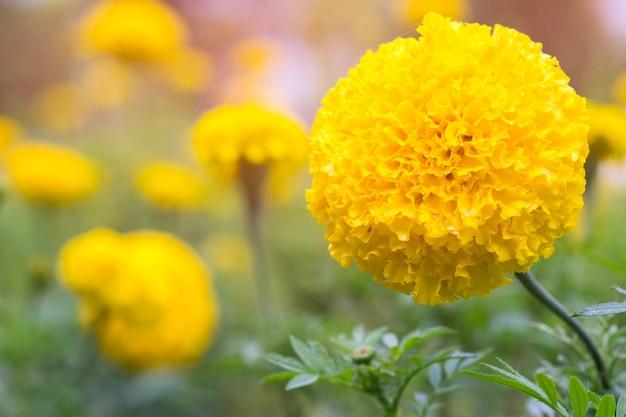 庭で美しいマリーゴールドの花を失う。