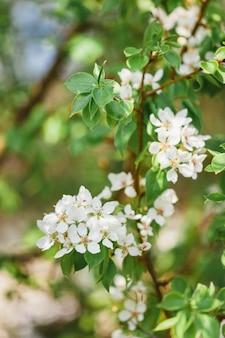 Цветущая яблоня, цветы, ветка, весна, опыление, красота, лето и сад