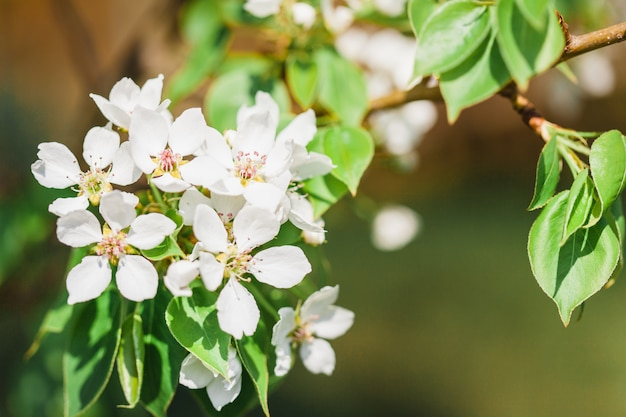 Цветущие деревья, яблоня, дерево цветы, весна, опыление, природа