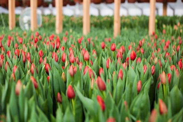 温室で育ったチューリップ、自然の花、品種