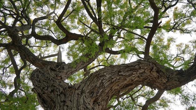 空の背景に巨大な古い木